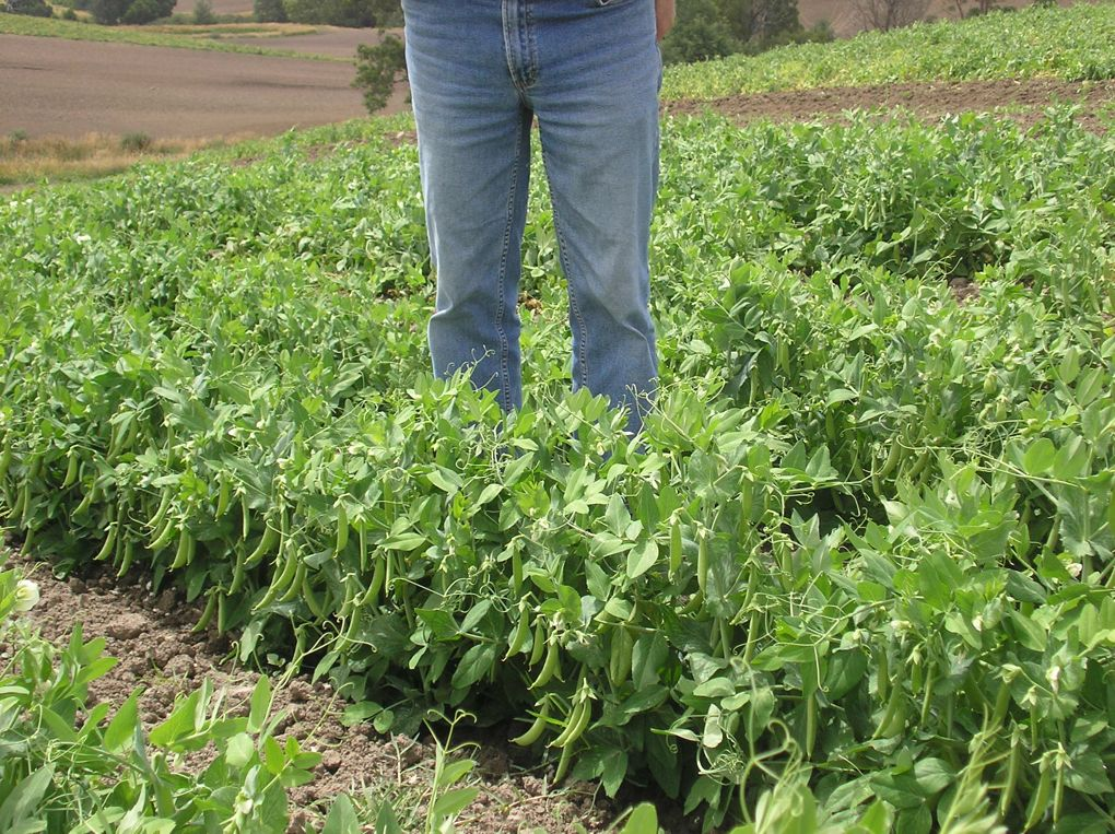 Sugar-snap peas at Bena. Tremendous yield grown with both solid & liquid fertiliser.