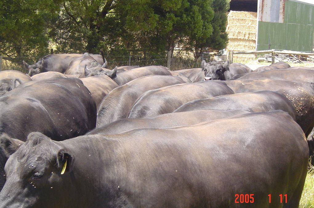 Rising 2-year old bullocks at Leongatha South