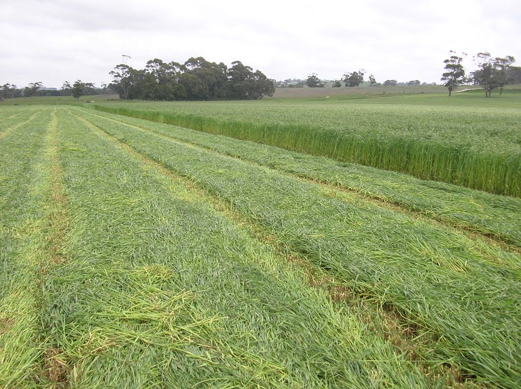 Annual Ryegrass grown with TNN Fertilisers.