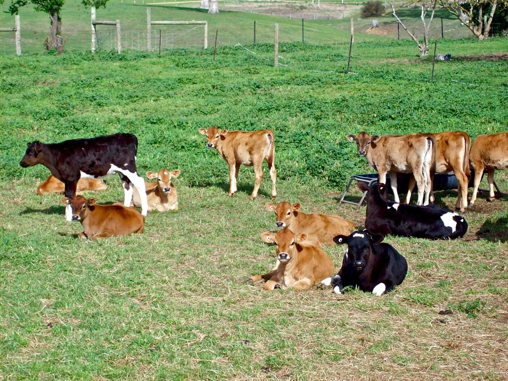 Young healthy calves – as nature intended.