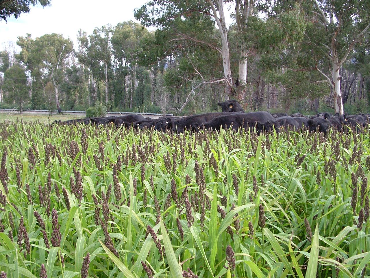 Springbank Millet Crop