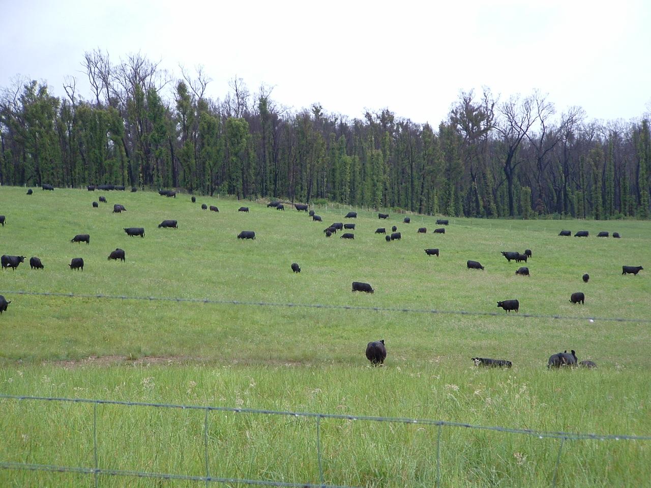 Springbank, Narbethong Cows & Calves
